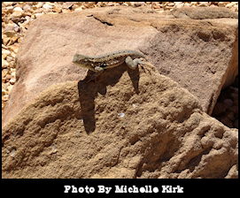 Photography Lizzard On A Rock